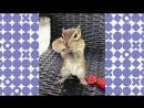 Голодный бурундук Видели видео