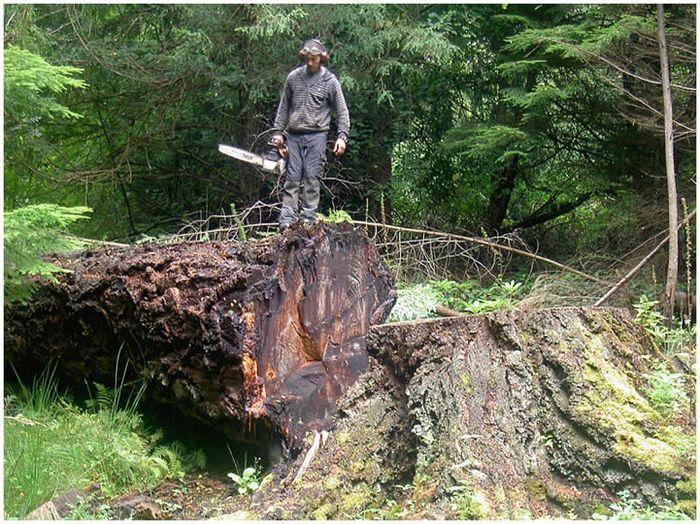 Вторая жизнь турпов срубленных деревьев