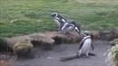 Смех до слёз.funny penguins.смешные пингвины