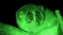 The Slender Loris (Loris tardigradus) : Nocturnal Indian Primate