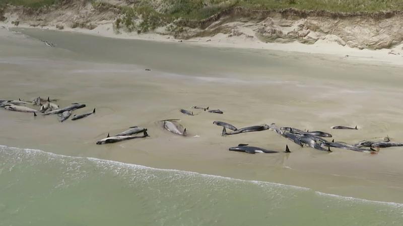 Mass pilot whale stranding at Rakiura/Stewart Island