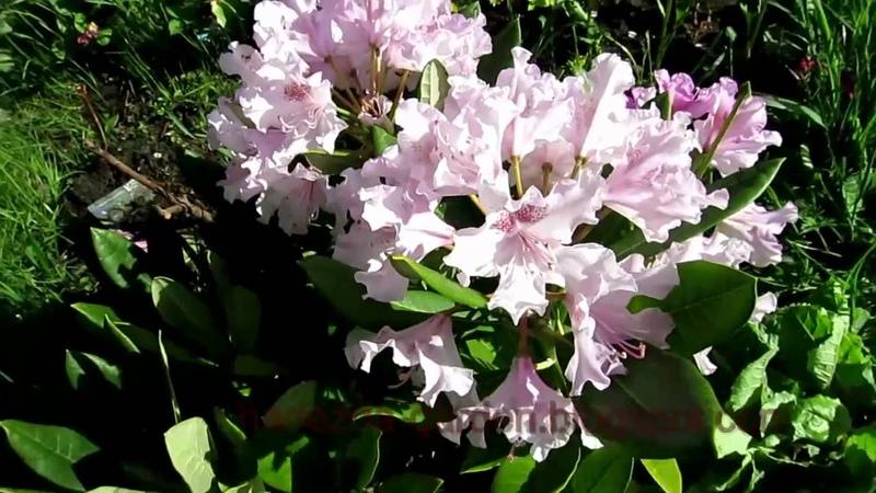 Рододендроны цветут Rhododendrons in bloom