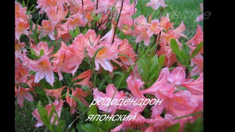 Рододендроны - красивоцветущие кустарники