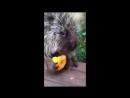 Разговорчивый дикообраз кушает тыкву
