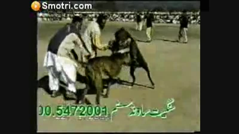 Pakistan bully kutta Tiger Vs Badal