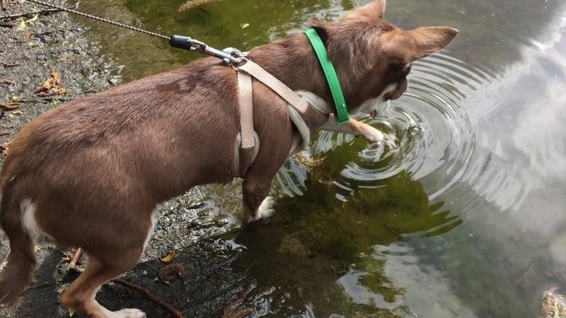 Так много воды чихуахуа Фондю еще никогда не видела! Решится ли она искупаться?