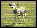 далматин описание породы содержание и уход poroda sobaka ckogo scscscrp