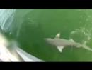 Морской окунь проглотил 1 5 метровую акулу одним укусом