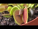 Venus Flytrap Dionaea Muscipula comiendo babosa