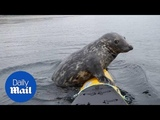 Seal of approval! A playful grey seal hopped on a kayak for a ride
