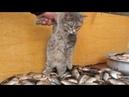 Kompilasi Video Lucu Kucing Dan Ikan Video Yang Pertama Mau di Masak Apa Tuh Cing 😹😹😹