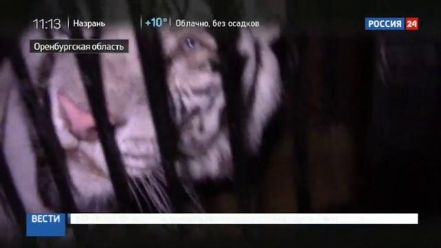 Новости на Россия 24 • Полиция установила имя водителя, бросившего грузовик с пятью тиграми в кювете