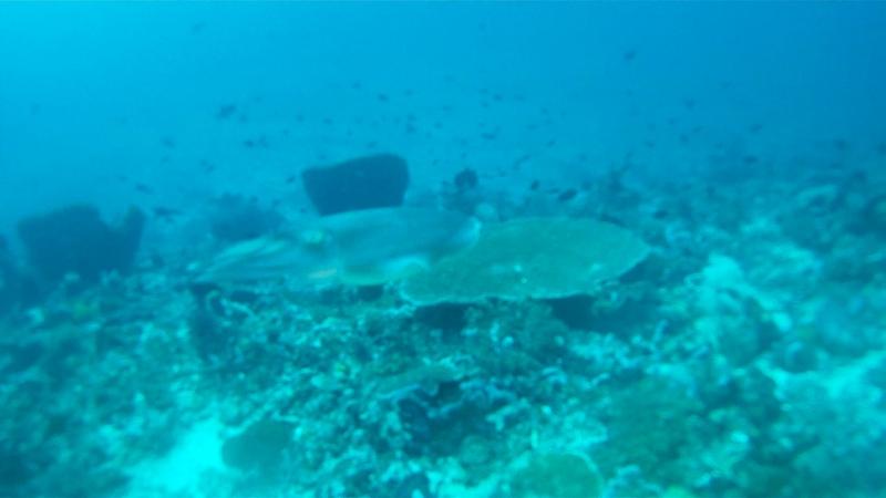 2011 год. Индонезия, о. Бали. Каракатица
