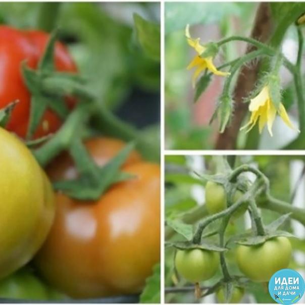самые неприхотливые сорта томатов сохраните, чтобы не потерять! выбирая семена, помните, что все томаты отличаются по вкусовым качествам. кроме этого, стоит понимать, что, например, помидоры для