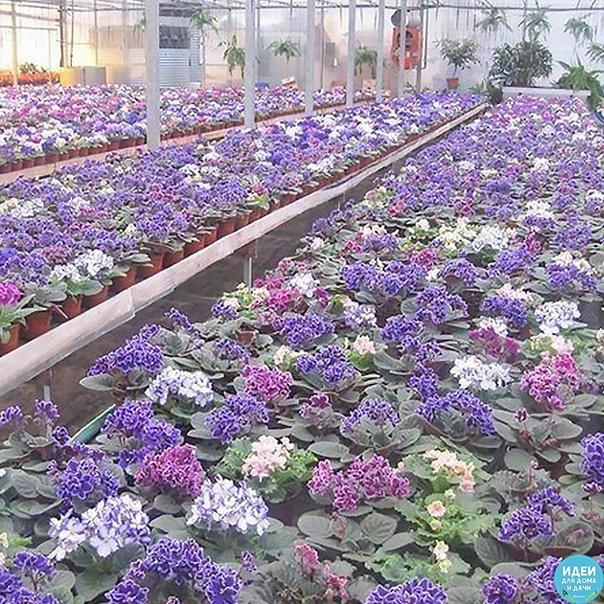 если не цветут фиалки попробуйте витамин в 12, продается в аптеке. на литр воды - 1 ампулу. цветы будут цвести очень хорошо, цветы