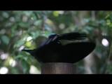 Victorias Riflebird - Bird of Paradise - Dance