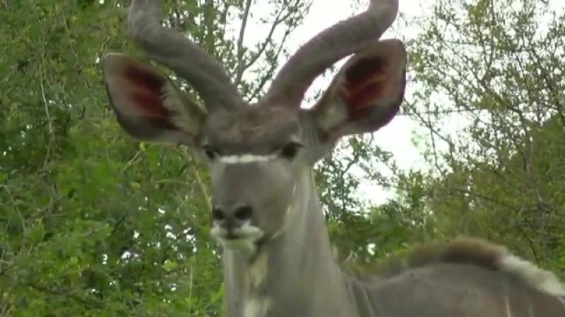 Антилопа куду - Antelope kudu Энциклопедия животных