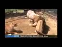 Leão vs tigre feras em luta