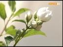 Чудо ягода селекционная смородина института садоводства