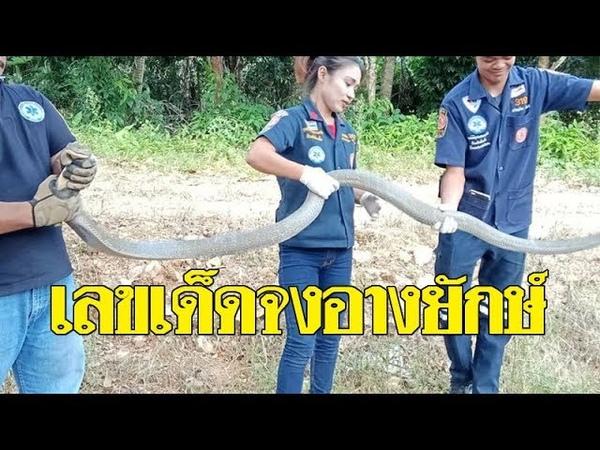 ชาวบ้านผงะ! งูจงอางยักษ์ ซุกใต้ท้องรถ เชื่อเป็นงูเทพเจ้า แห่ตีเลขเด็ดป้ายทะเบียน: Khaosod TV
