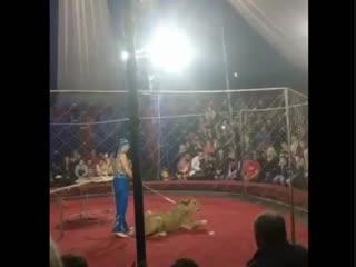 На Кубани в цирке львица напала на 3-летнюю девочку