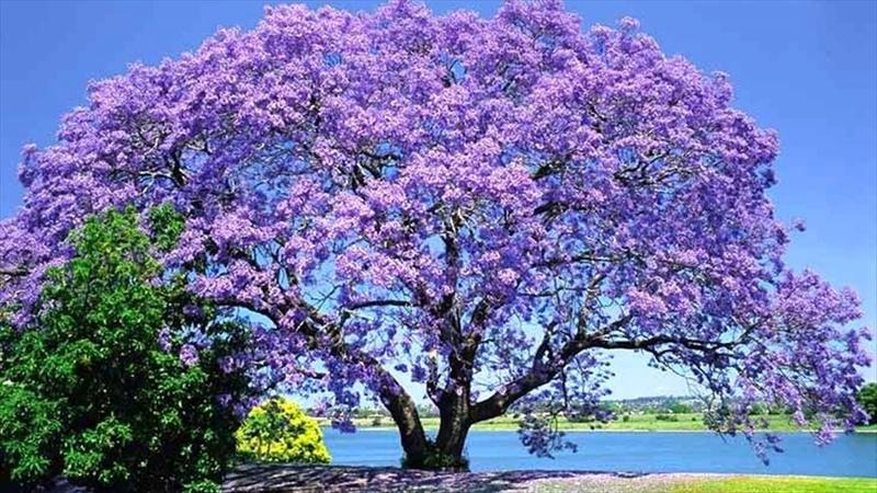Great Landscape Tree Jacaranda - Suitable Climate - How It Grows - Associate Plants