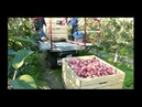 Zbiór jabłek z platformy mobilnej Orsi Cross 2010r Apple picking Orsi Cross