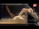 Эксперимент Дидье Дезора с шестью крысами