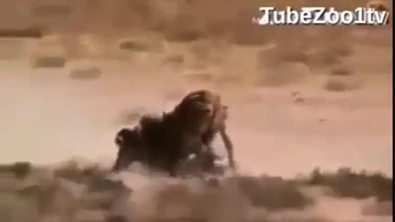 Львица пытается задушить зебру