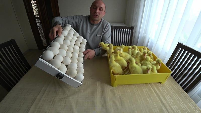 ЭкспериментЗакладка гусиных яиц полувертикально от А до ЯОВО-78