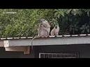 Joven mono reencontrándose con su familia tras ser rehabilitado
