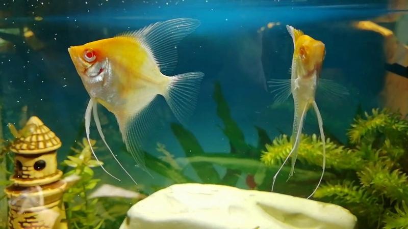 Золотая скалярия Gold aquarium angelfish