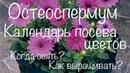 Остеоспермум Сроки посева цветов на рассаду Календарь посева цветов