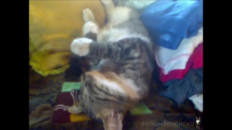 кошкабориска После ночной охоты крепко спит