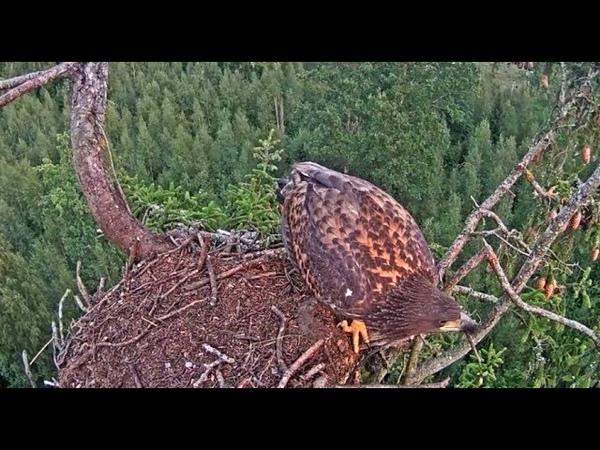 В Латвии орлан-белохвост избавился от «жучка» в своём гнезде