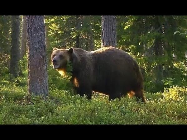 Охотник откусил медведю язык