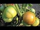 Опыт огородников по выращиванию ранних помидоров в открытом грунте