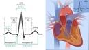 Основы ЭКГ за 100 минут Проводящая Система Сердца Зубцы, интервалы, сегменты на ЭКГ
