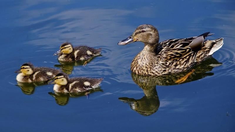 Картинка птицы Вода птенцы утка отражение утята