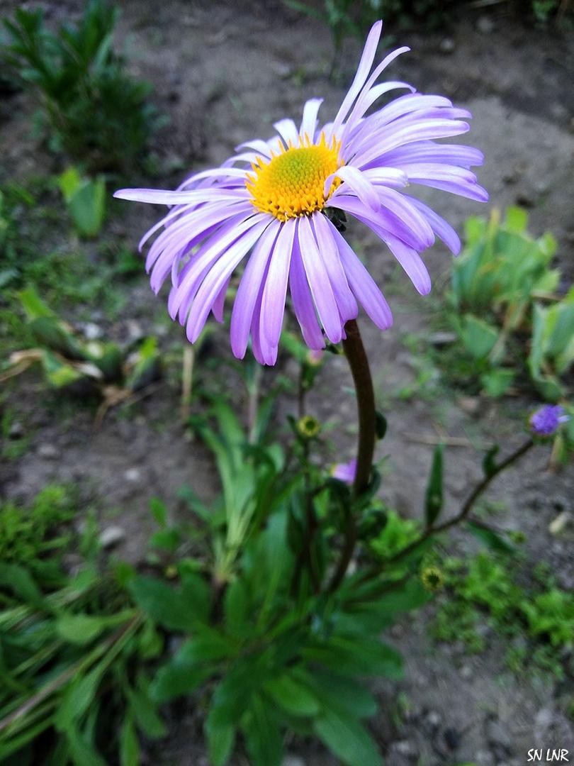 голове фиолетовая ромашка название и фото сегодня социальные