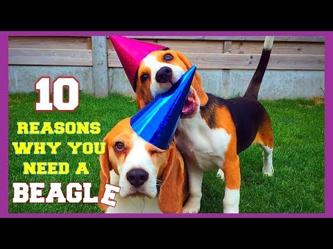 Top 10 Funny Beagle Facts You need To Know : Funny Beagles Louie Marie