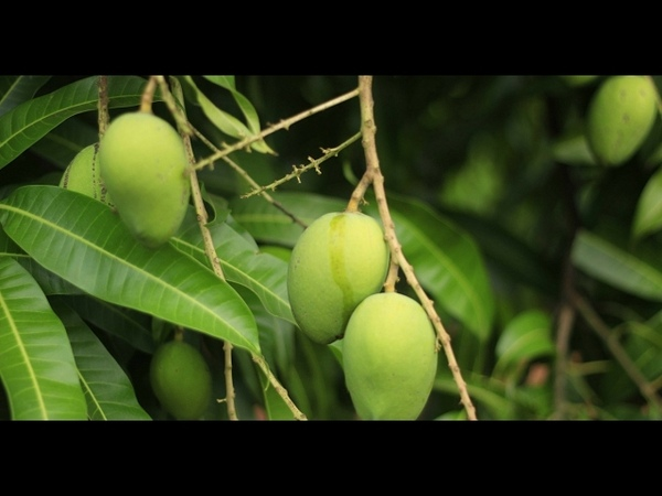 Top 5 reasons why raw mangoes good for health| Buy Mangoes OnlineMango online|Salem mango Online