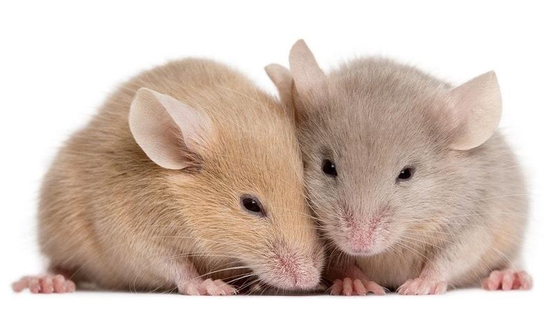 Mice eating pasta - 吃晚饭的米饭 - الفئران - МЫШЕЙ