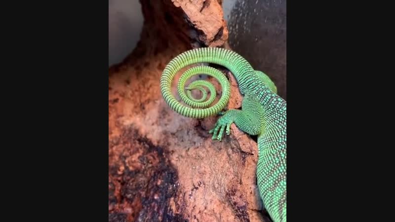 The satisfying swirl of this Green Tree Monitors tail
