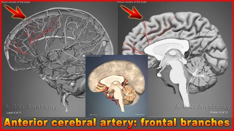 Anterior cerebral artery frontal branches Arteries of head and neck 3D Human Anatomy Organs