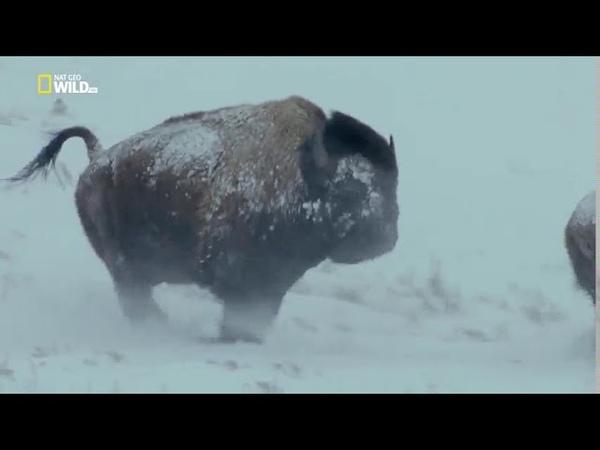 Национальные парки Америки 6 я серия Йеллоустоун yfwbjyfkmyst gfhrb fvthbrb 6 z cthbz qtkkjecnjey