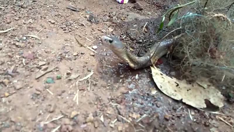 Snake catcher saves trapped cobra that thankfully gulps down
