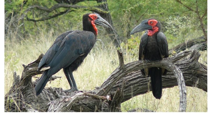 SOUTH AFRICA southern ground hornbill Kruger national park hd video