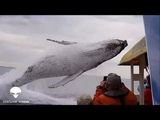 A Huge whale nearly crushes a boat full of Tourists (Disclose Screen)