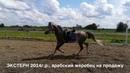 Продажа лошадей арабской породы конефермы Эквилайн, тел., WhatsApp 79883400208 (ЭКСТЕРН 2014г.р.)
